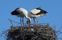 Quelques cigognes dans le nid Photo libre de droits