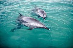 Quelques dauphins de bottlenose image stock