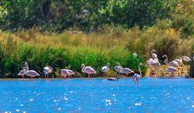 Quelques flamants roses dans l'Algarve Photo libre de droits