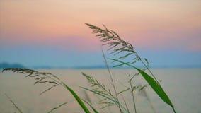 Quelques fleurs d'herbe par le lac hésitant avec le vent banque de vidéos