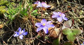 Quelques fleurs de bleu Images libres de droits