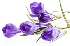 Quelques fleurs de ressort du crocus violet d'isolement sur le fond blanc Photographie stock