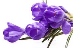 Quelques fleurs de ressort du crocus violet d'isolement sur le fond blanc Images stock