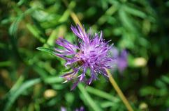 Quelques fleurs de violette Photos stock