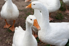 Quelques gooses Image stock