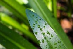 Quelques gouttes de l'eau sur des feuilles Photo libre de droits