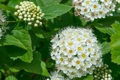 Quelques groupes de fleurs blanches véritables et unblown Photo stock