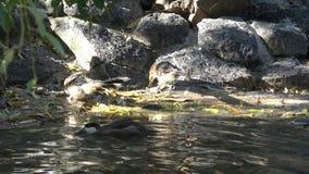 Quelques guira de Guira de coucou de guira à une petite piscine pour boire et se laver banque de vidéos
