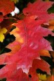 Quelques lames d'automne rouges intéressantes Image stock