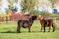 Quelques le poney est dans un village Photographie stock