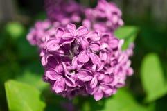 Quelques lilas pourpres dans le macro photographie stock