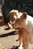 Quelques lions Photo stock