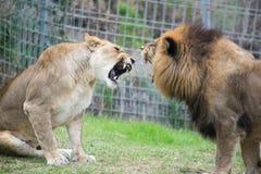 Quelques lions d'aviron Images libres de droits