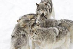Quelques lupus de Canis de loups de bois de construction jouant pendant l'hiver neigent dans le Canada Images stock