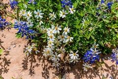 Quelques marguerites Blackfoot blanches avec des Wildflowers de Bluebonnet dans Tex photographie stock