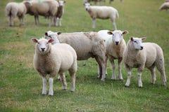 Quelques moutons Photo stock