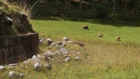Quelques moutons sur un champ banque de vidéos