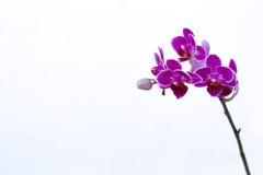 Quelques orchidées pourpres Photographie stock libre de droits