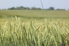 Quelques oreilles vertes de blé mûrissant dans un domaine de blé Photographie stock