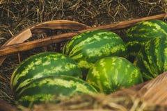 Quelques pastèques sur le foin Photo stock