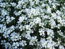 Quelques petites fleurs blanches Images libres de droits