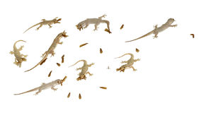 Quelques petits geckos chassent sur l'insectson un fond blanc photographie stock libre de droits