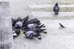 Quelques pigeons picotent le grain dispersé, mais un pigeon tourné loin images libres de droits
