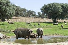 Quelques porcs ibériens ayant un bain. Images stock