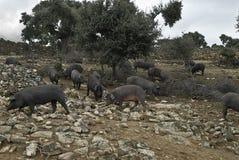 Quelques porcs ibériens dans le pâturage. Image libre de droits