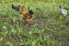 Quelques poulets libres de gamme sur le pré dans une ferme photo stock