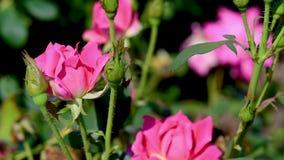 Quelques roses roses se déplaçant le vent banque de vidéos