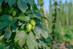 Quelques uns de houblon en cônes vert pour faire le plan rapproché de nourriture Photos stock