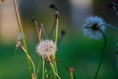 Quelques vieux pissenlits à un automne se préparant lentement à un hiver photographie stock libre de droits