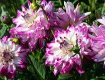 Quem dun ele meio grandes flores roxas do asteraceae com cor branca e um núcleo amarelo imagens de stock