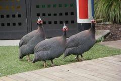 Quem está perguntando ao Peafowl? Fotos de Stock