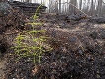 Quemadura reciente del bosque boreal Imagen de archivo libre de regalías