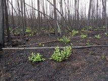 Quemadura reciente del bosque boreal Fotos de archivo libres de regalías