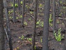 Quemadura reciente del bosque boreal Foto de archivo