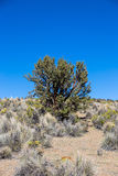 Quenoa forest on Natural Park of Sajama, Bolivia. Royalty Free Stock Photography