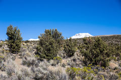 Quenoa forest on Natural Park of Sajama, Bolivia. Royalty Free Stock Photo