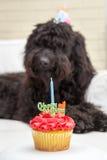 Queque com a vela e o cão peludo preto que encontram-se na cadeira branca que veste um chapéu da festa de anos no fundo Fotos de Stock Royalty Free