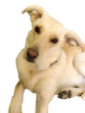 Quer-Larbrador, Deutscher Shepard-Hund 2 Stockbild