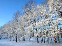 Querce di inverno Fotografie Stock Libere da Diritti