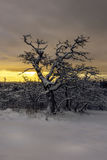 Querce nella neve Fotografia Stock