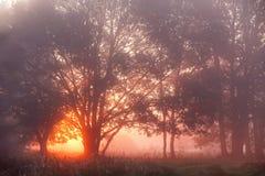 Querce in prato ad alba, raggi di sole che attraversano Mornin Fotografie Stock Libere da Diritti