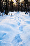 Querce scure nella foresta fredda di inverno Immagine Stock
