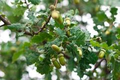 Quercia-albero Immagine Stock Libera da Diritti