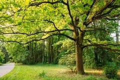Quercia alta nel parco di estate Natura della sorgente Foresta decidua Fotografie Stock