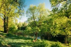 Quercia alta nel parco di estate Natura della sorgente Foresta decidua Fotografia Stock Libera da Diritti