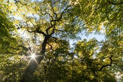 Quercia antica della capitozza alla foresta di Schwanheim Fotografia Stock